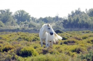 A wild white horse of the Camargue, France