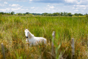 Wild white horse of the Camargue in France - Sacred Tour of France